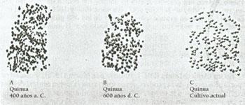 Evolución grano quinua